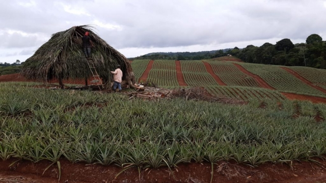Colorada Fresh Pineapples Farm Sep 2019