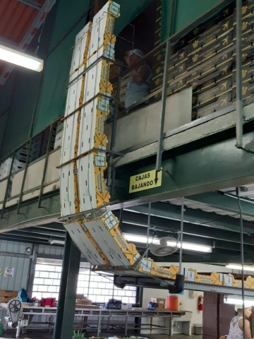 Colorade Fresh Pineapples packed in packhouse for export