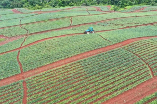 Colorada Fresh Pineapples Farm July 2020