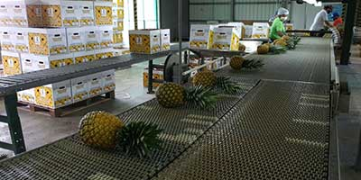 Farm manager packing pineapples at packhouse